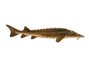 Lake Sturgeon Image